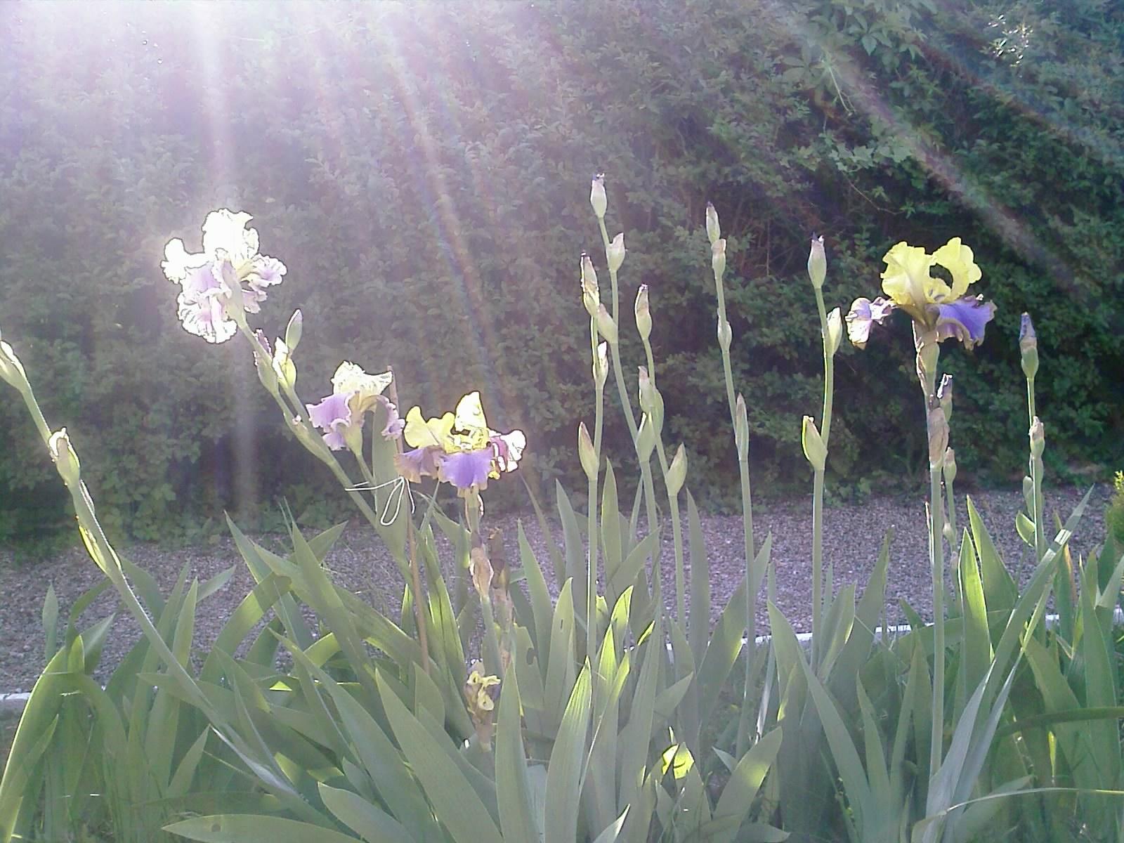 Iris au Soleil